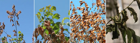 recognizing-elm-disease-leaves